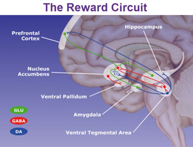 nucleus-accumbens-reward-circuit