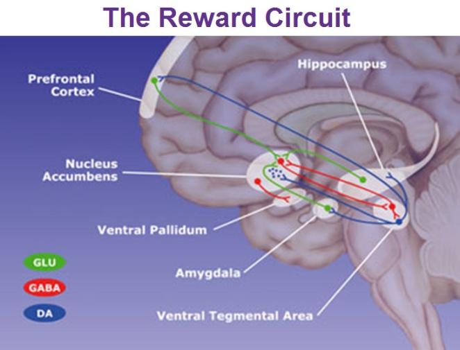 nucleus-accumbens-reward-circuit